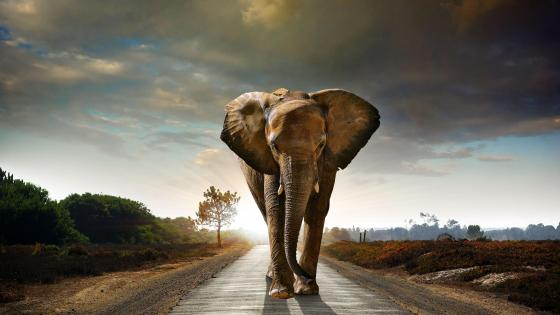 Walking elephant  wallpaper