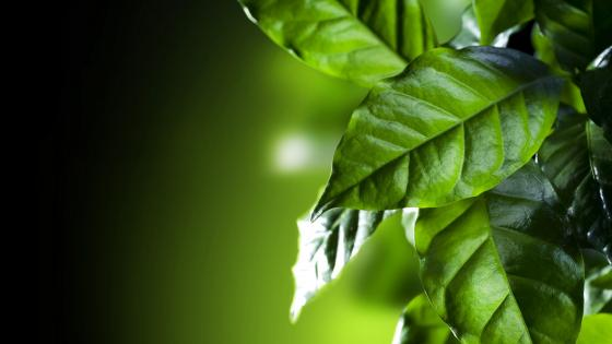 Coffee leaves  wallpaper