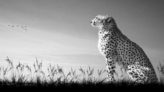 Cheetah - Monochrome photography wallpaper
