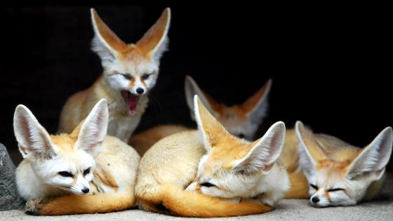 Cute Fennec fox family wallpaper