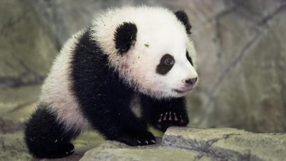Bao Bao - Baby panda  wallpaper