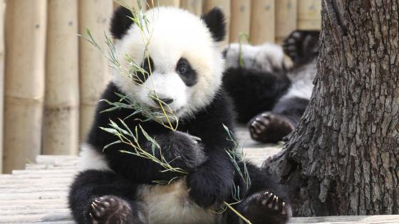 Baby panda in Madrid Zoo Aquarium wallpaper