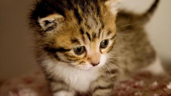 Cute baby kitten  wallpaper