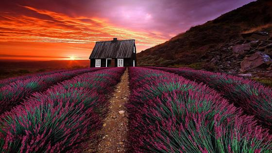 Sunset over the lavender field wallpaper
