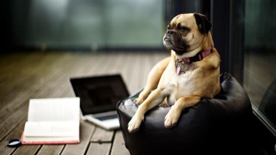 Cute pug resting wallpaper