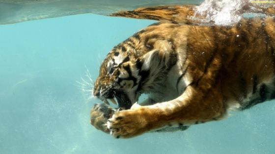 Bengal tiger underwater photo wallpaper