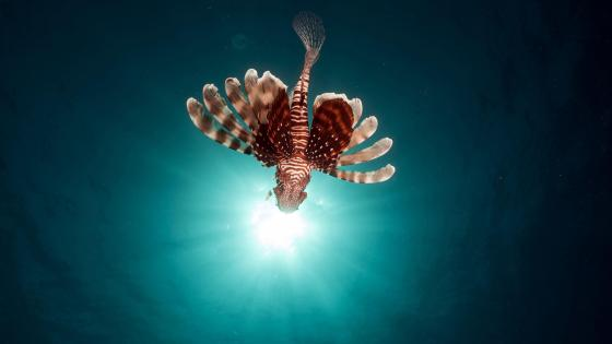 Red lionfish underwater photo wallpaper