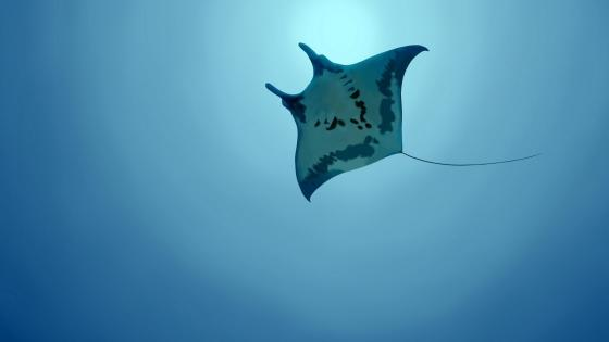 Giant oceanic manta ray in the blue ocean wallpaper