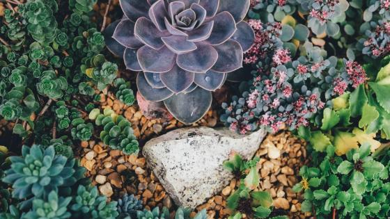 Succulents and stonecrop wallpaper