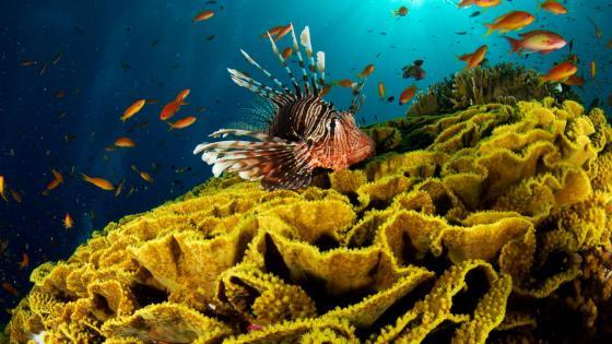Red lionfish swim near coral reef wallpaper