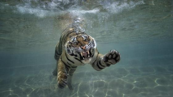 Sumatran tiger under the water wallpaper