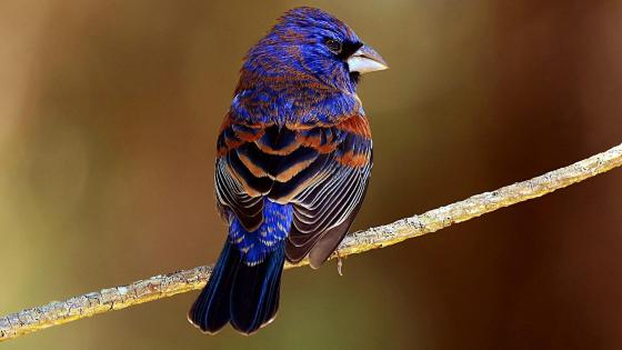 Passerine bird wallpaper