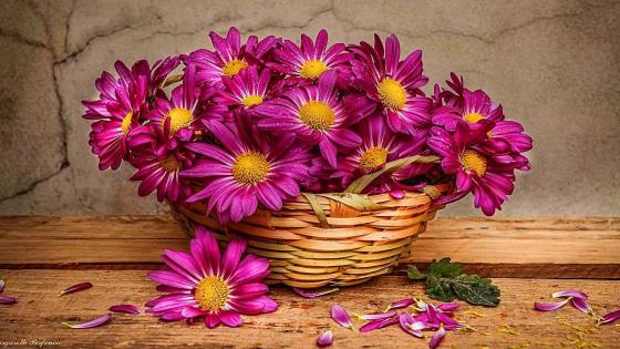 Pink chrysanths wallpaper