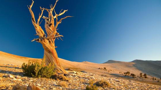 Dry tree in the desert wallpaper