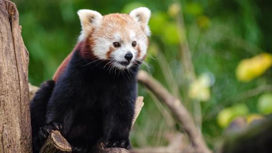 Red panda bear on the tree wallpaper