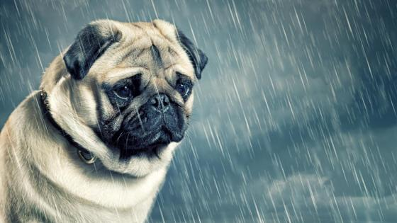 Cute pug in the rain wallpaper