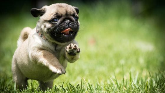 Cute pug puppy wallpaper