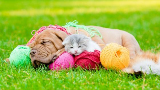 Puppy and kitten in the grass wallpaper