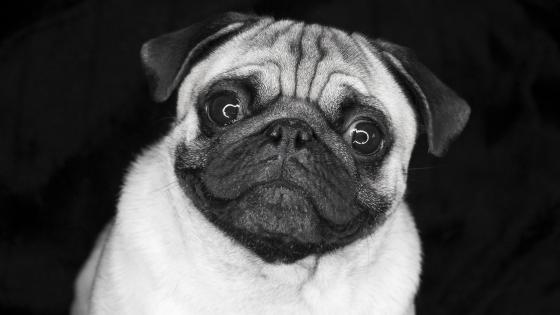 Pug dog - Monochrome photography wallpaper