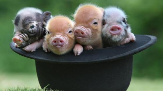 Baby pigs in the hat wallpaper