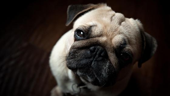 Cute pug puppy nose wallpaper