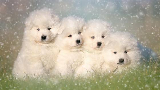 Group of Samoyed puppies wallpaper
