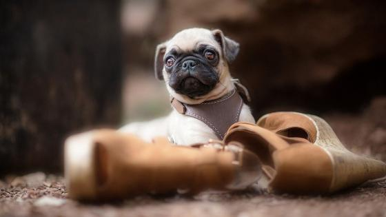 Pug puppy with shoes wallpaper