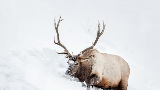 Reindeer in the snow  wallpaper