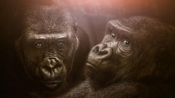 Gorillas wallpaper