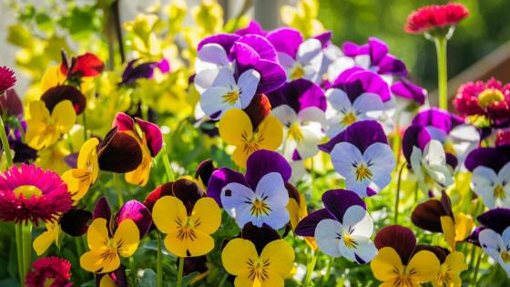 Pansy flowers wallpaper