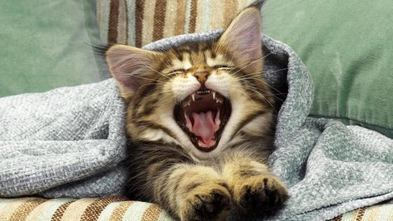 Cute yawning cat  wallpaper