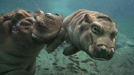 Hippos under the water wallpaper