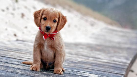 Cute puppy  wallpaper