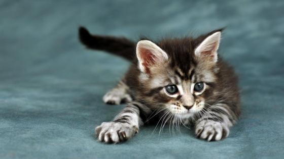 Sweet kitten wallpaper