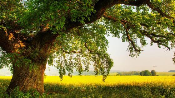 Oak tree in the field wallpaper