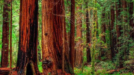 Forest trees in Jedediah Smith Redwoods State Park - Crescent City, California wallpaper