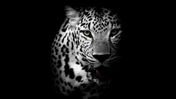 Leopard - Monochrome photography wallpaper