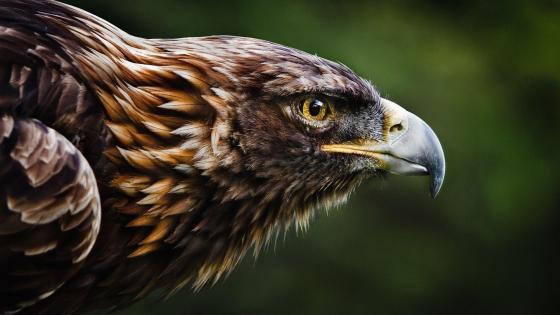Golden eagle - Birds of prey wallpaper
