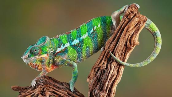 Panther chameleon  wallpaper