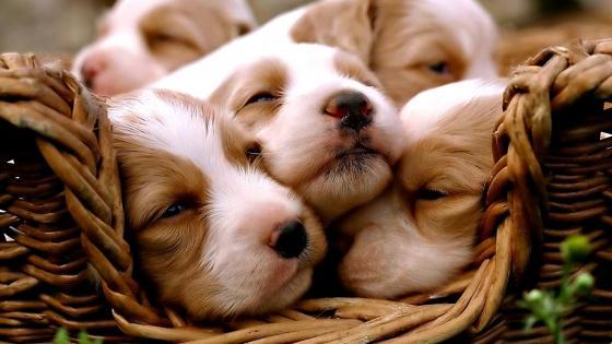 Cute spaniel puppies wallpaper