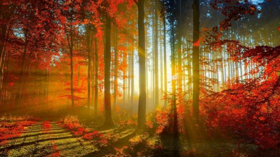 Sun rays in the autumn forest  ☀️ wallpaper