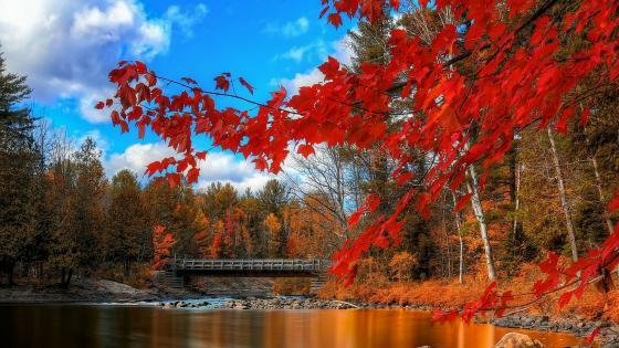 Red autumn tree over the rivrer  wallpaper