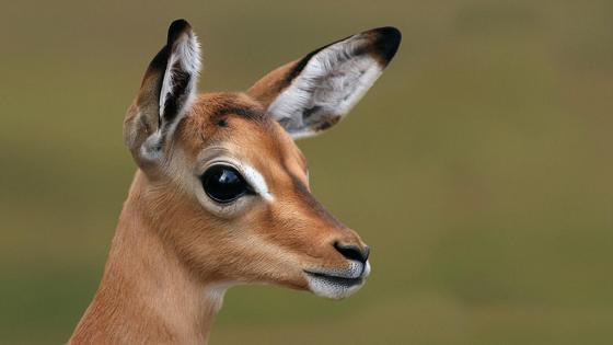 Cute antelope wallpaper