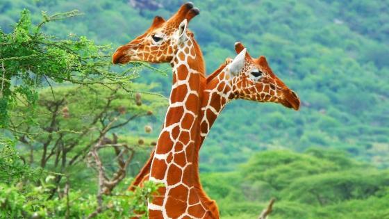 Two cute giraffes wallpaper