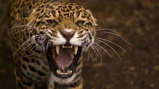 Dangerous Jaguar wallpaper