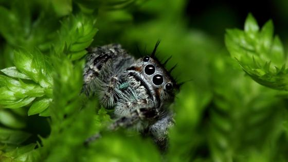 Spider lurking in the leaves wallpaper