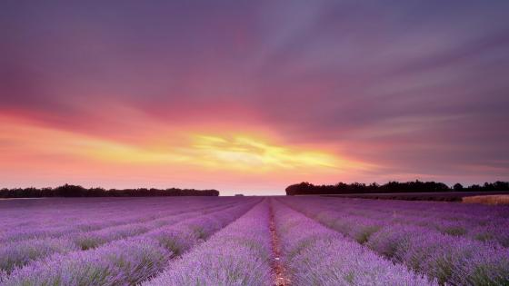 Sunset over the endless lavender field wallpaper