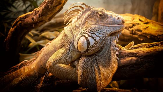 Green iguana close-up photography wallpaper