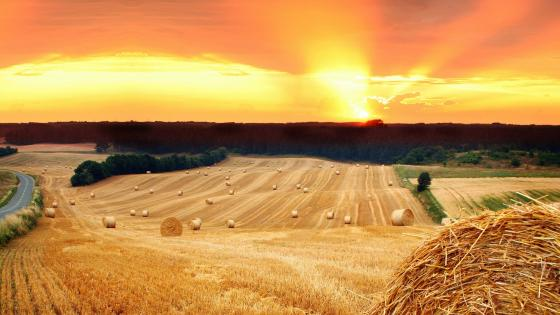 Wheatfield in the sunset wallpaper