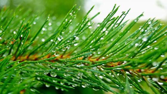 Fir Branch - Macro photography  wallpaper